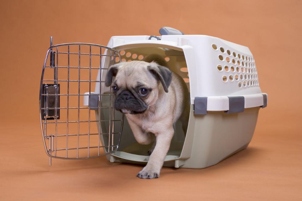 Teacup Pugs For Sale - Home