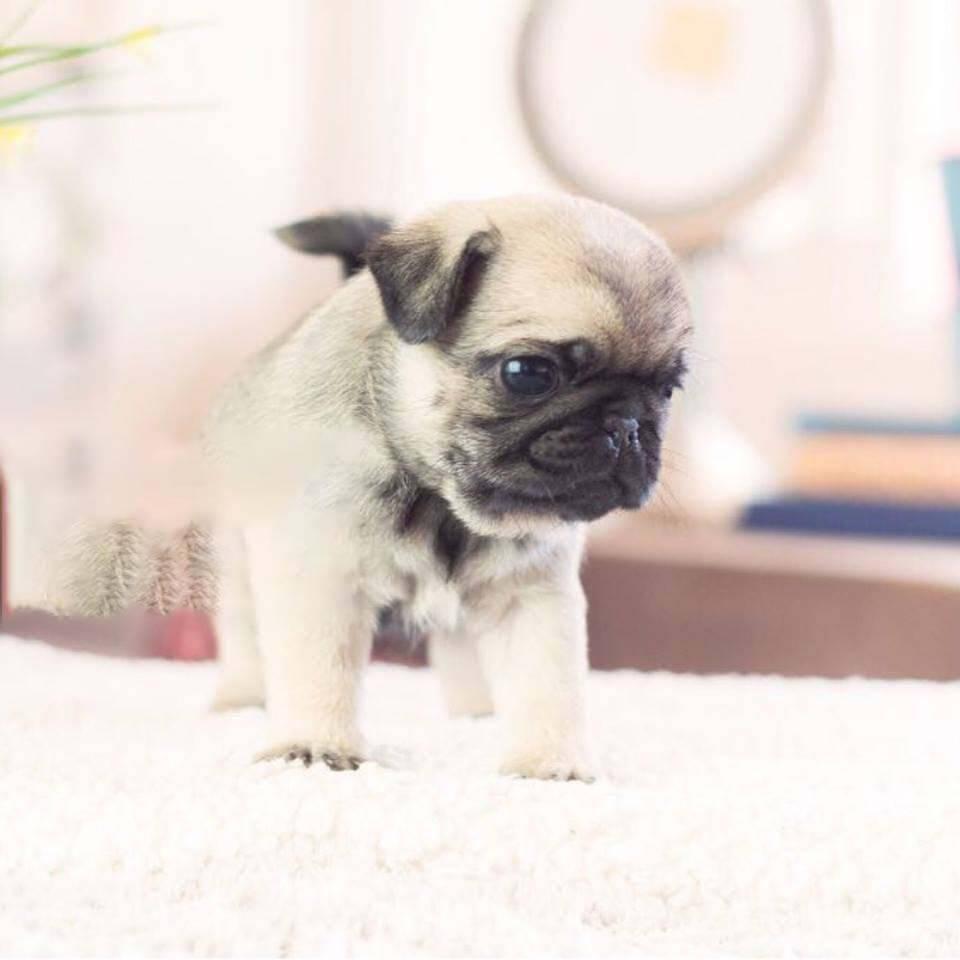 Teacup Pugs For Sale Pugs For Sale